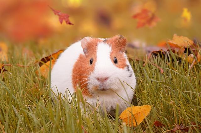 morče na podzim